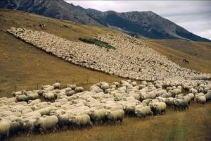 Φωτογραφίες-από-το-πλήθος-κοπάδι-πρόβατα-nb19925