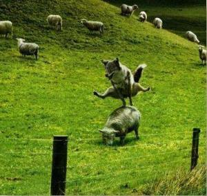 wolf-jumping-sheep1